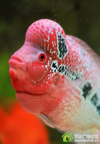 罗汉鱼怎么分公母图解