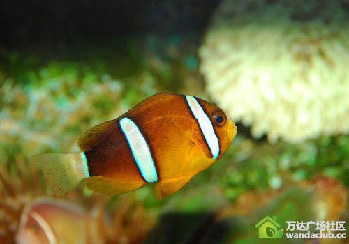 小丑鱼与海葵共同生活饲养